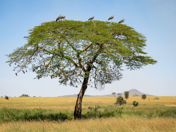 Marabou Storks in a Tree African Beauty African Safari Big Birds Birds Landscape Landscapes Marabou Stork Nature Photography No People Safari Safari Adventure Safari Animals Scavengers Storks Storks In The Wild Tree Veld