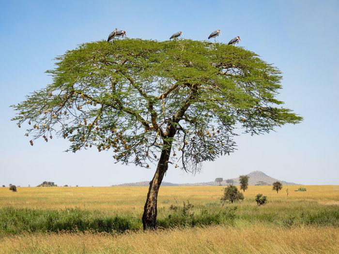Marabou Storks in a Tree African Beauty African Safari Big Birds Birds Landscape Landscapes Marabou Stork Nature Photography No People Safari Safari Adventure Safari Animals Scavengers Storks Storks In The Wild Tree Veld
