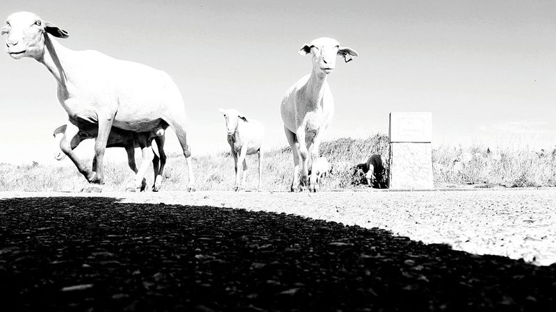 Sheeps walking by me... Sweet Sheeps Urban Sheeps Sheeps. Sheepsheep Eyeem Monochrome Love Black And White Taking Pictures Takingphotos Taking Photo Black And White