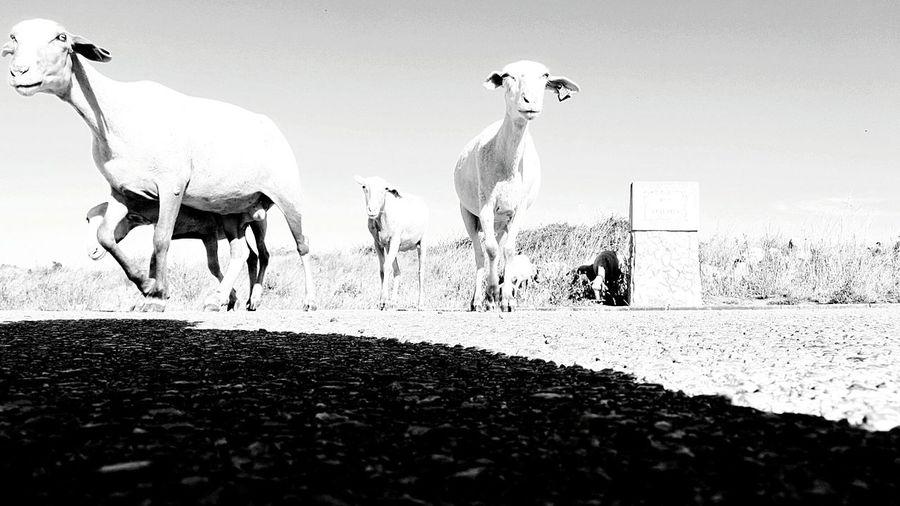Sheeps walking by me... Sweet Sheeps Urban Sheeps Sheeps. Sheepsheep Eyeem Monochrome Love Black And White Taking Pictures Takingphotos Taking Photo Black And White