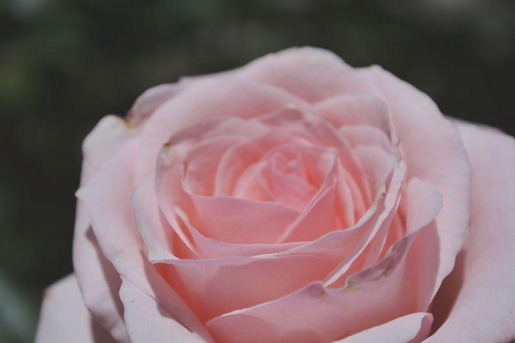 Love Rose Rose - Flower EyeEm Selects Flamingo Peony  Pink Color Flower Head Close-up Single Rose Softness Pale Pink Petal Single Flower Fragility Plant Life