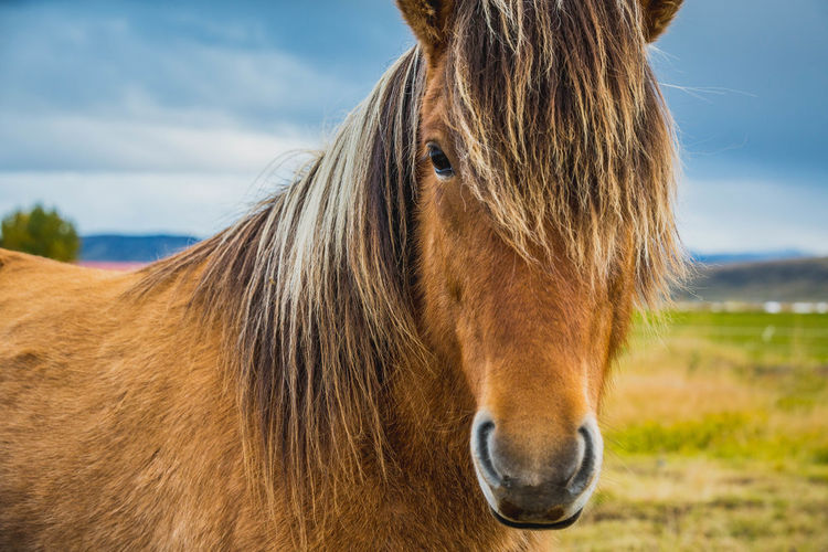 Animal Head  Animal Themes Close-up Day Domestic Animals Field Hoofed Mammal Horse Iceland Landscape Livestock Mammal Mane Nature No People One Animal Outdoors Sky Travel Destinations