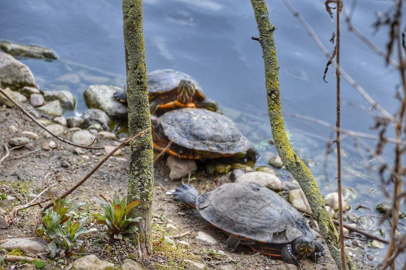 Three Waterturtle Wasserschildkröten Animal Wildlife Animals In The Wild Reptile No People Nature Beauty In Nature Animal Themes Day Outdoors Sea Life Close-up Tree EyeEm Nature Lover Beautiful Day Moment