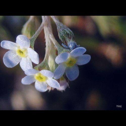 _Trigonotis peduncularis_ Wild Flowers Flowers,Plants & Garden Nature