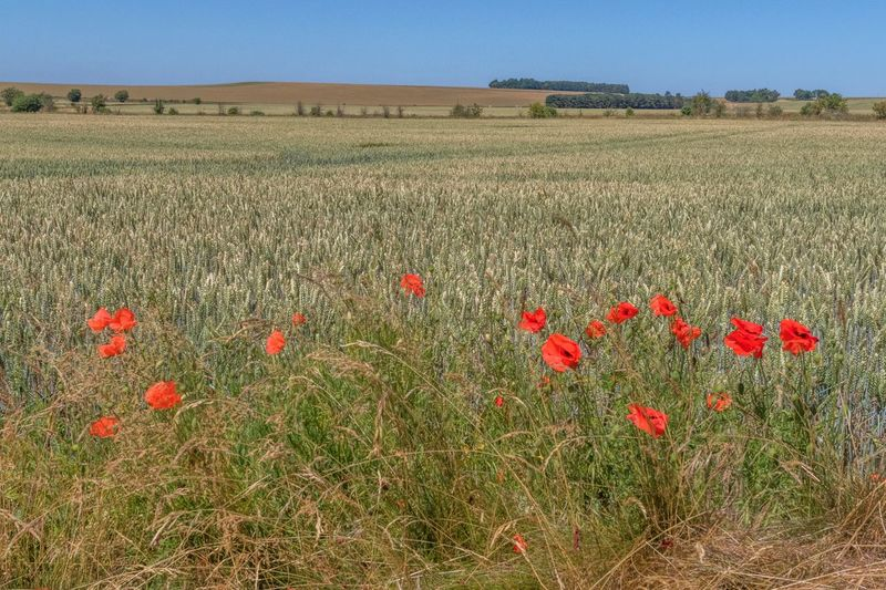 Ridgeway landscape Uk The Ridgeway National Trail Walking Rambling Field Margin Plant Field Beauty In Nature Land Growth Landscape Flower Flowering Plant Tranquil Scene Tranquility Environment Nature No People Day Sky Rural Scene Freshness Poppy Agriculture Red
