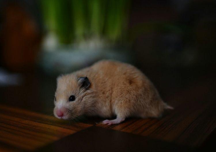 Full length of a hamster
