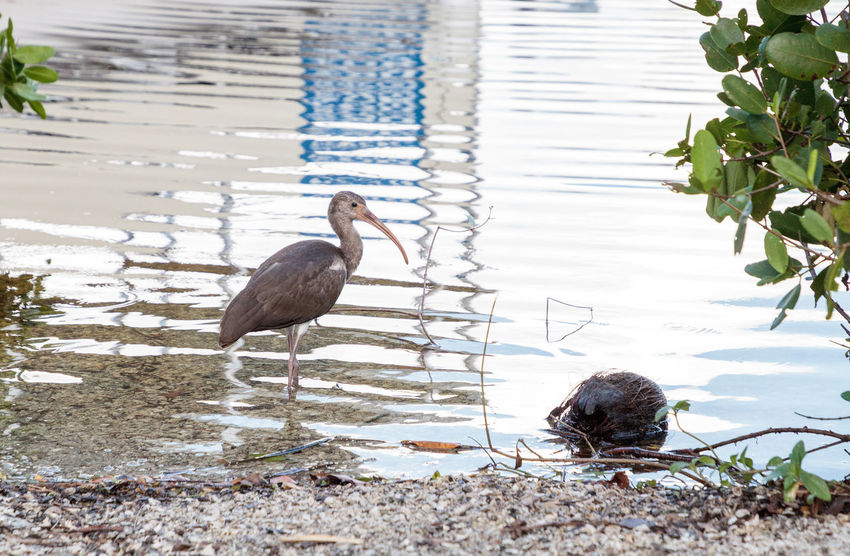 Young brown American White ibis Eudocimus albus bird scavenges for food at a park in Naples, Florida, USA American White Ibis Eudocimus Albus American Ibis Animal Themes Animal Wildlife Animals In The Wild Bird Day Ibis Long Beak Nature No People Outdoors Water White Ibis