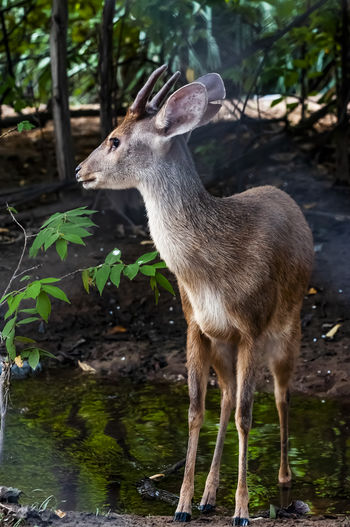Mammal Animals In The Wild No People Day Vertebrate Animal Wildlife Animal Nature Tree Standing Animal Themes One Animal Focus On Foreground Deer Land Plant Herbivorous Water Forest Outdoors Fawn