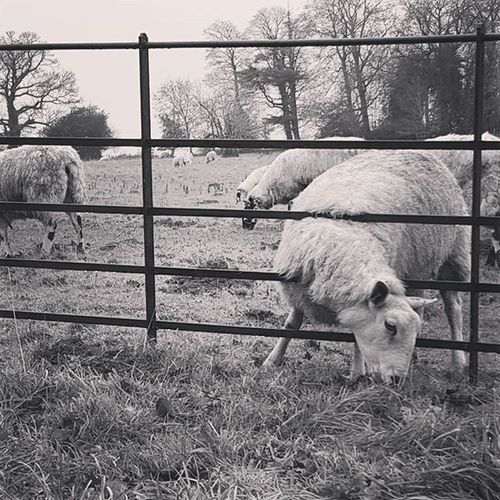 Sheep grazing through the fence at Stowe Gardens. Sheep Animals Instaanimal Nationaltrust NTchallenge Picoftheday Countryside Blacknwhite B &w Blackandwhite Instalikes Instapet Petsofinstagram Sheepofinstagram Animalsofinstagram