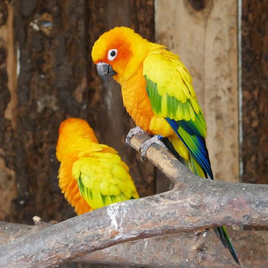 Two Parrots Togetherness Bird Photography Birds Birds Of EyeEm  Bird Parrot Animal Themes Perching Day Animals In The Wild Branch Yellow No People Animal Wildlife Gold And Blue Macaw Tree Nature Close-up Outdoors Macaw Beauty In Nature