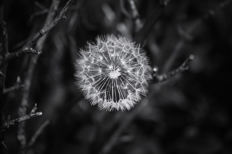 Plants And Flowers Nature Beauty In Nature Nature Collection Dandelion Seed Head Black And White Pinhole Photography Natures Architecture