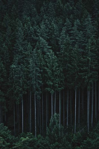 #tallik - Waldfront Tallik TreePorn Background Backgrounds Wanderlust Wald Bäume Tree Plant Forest Growth Green Color Land Tranquility No People Beauty In Nature Scenics - Nature Nature Tree Trunk WoodLand Day Non-urban Scene Coniferous Tree