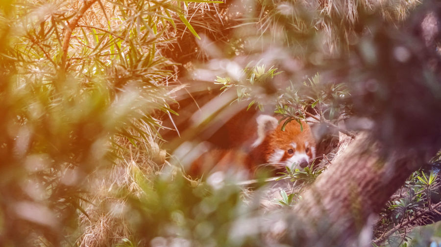 Red panda in nature background