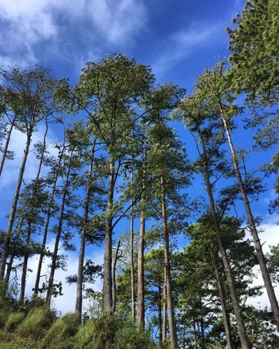 Trees! ❤️ Tree Nature Sky Low Angle View Growth Beauty In Nature Blue Tranquility No People Outdoors Green Color Day Forest Tree Trunk Simple Photography EyeEm Best Shots Eyeem Philippines EyeEmBestPics EyeEm Scenics