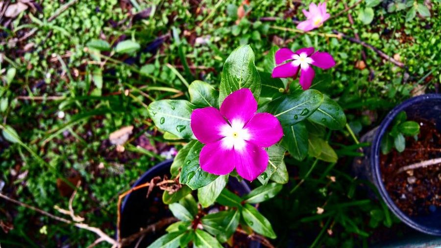 Flower Freshness Beauty In Nature Nature Flower Head Fragility Growth Petal Plant Blooming Green Color Close-up No People Outdoors Day Periwinkle Puerto Rico EyeEm Gallery EyeEM Photos