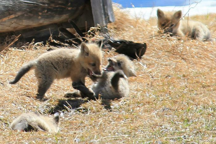 These baby fox kits are inhabiting an abandoned cabin along my morning drive. Such adorable creatures! Animals In The Wild Animal Wildlife Day Outdoors No People Mammal Grass Nature Animal Themes Fox Kits Play Siblings Adorable Cute Cuddly Wildlife Wildlife & Nature Wildlife Photography Wildlife Photos Wildlife_perfection Wildlife_seekers Wildlife_shots