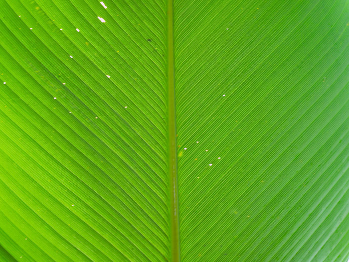 Fresh leaf texture and background with copy space for text. Leaves image selective focus. Abstract Background Beauty In Nature Biology Botanical Bright Cell Close-up Detail Ecology Green Color Growth Leaf Light Macro Nature No People Outdoors Pattern Plant