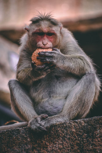 Portrait of monkey eating sitting on outdoors