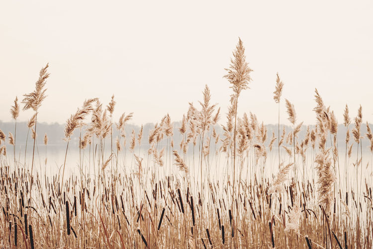 Grass Nature Photography Wheat Agriculture Beauty In Nature Clear Sky Day Golden Hour Growth Lake Lake View Nature No People Outdoors Plant Reed Reed - Grass Family Scenics Sky Tranquil Scene Tranquility