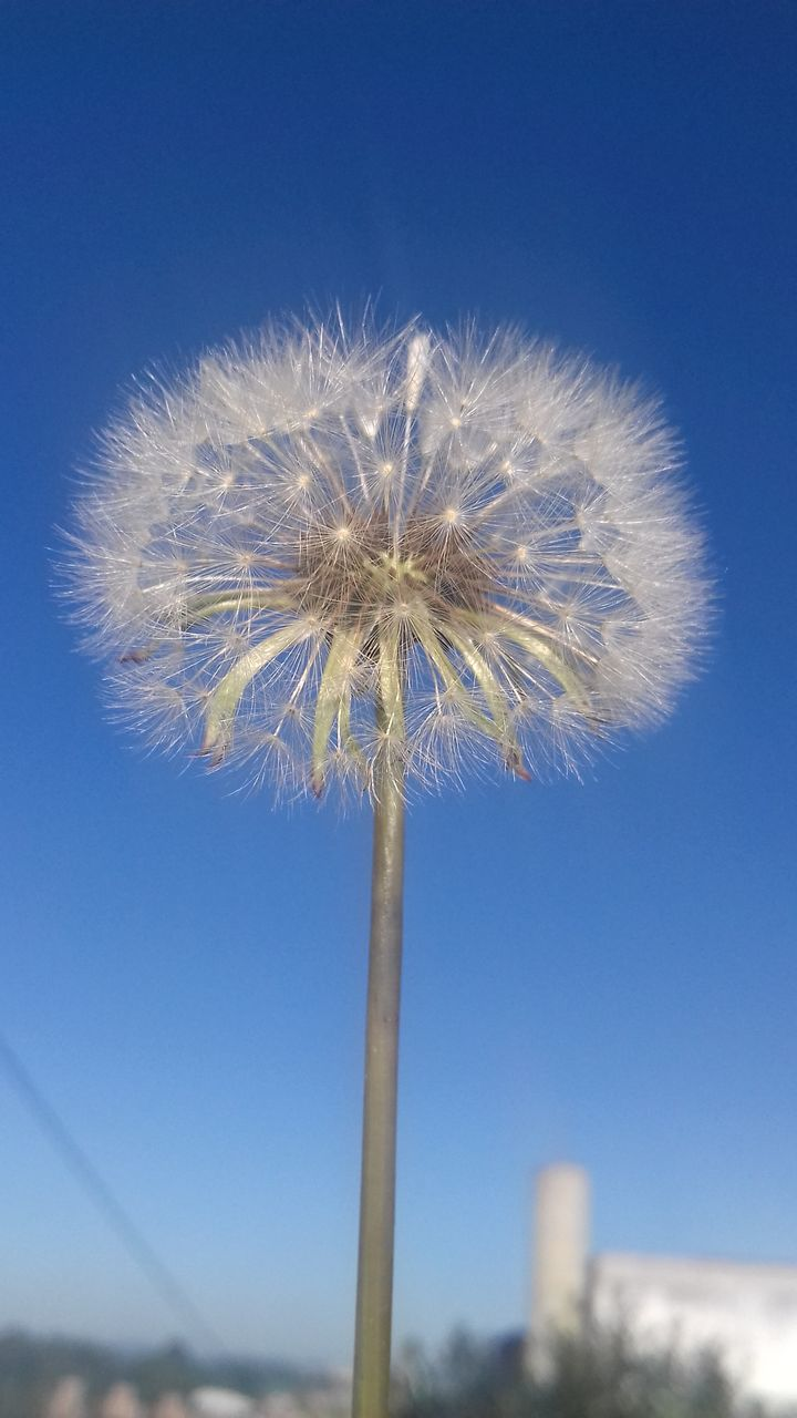 flower, dandelion, blue, nature, day, fragility, clear sky, low angle view, no people, growth, outdoors, beauty in nature, sky, close-up, freshness, flower head