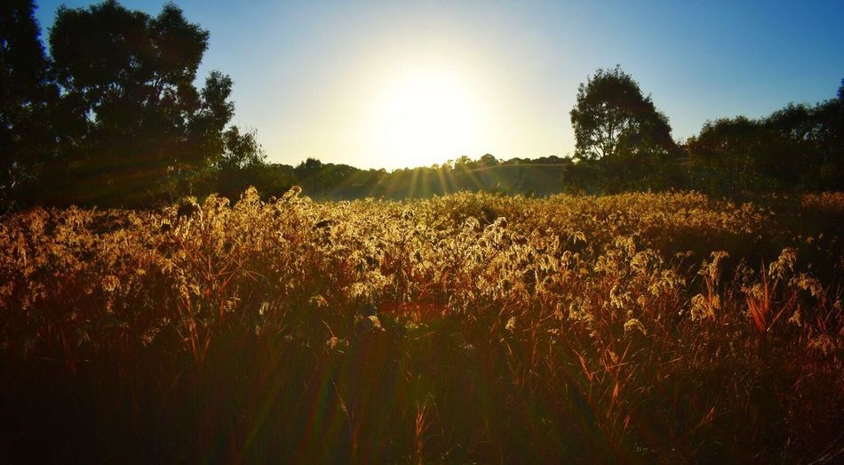 Growth Nature Field Landscape Summer Plant Agriculture Tree No People Sunshine Outdoors Beauty In Nature Clear Sky Sky