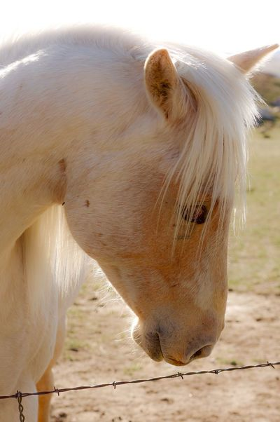 White horse in morning sun. Horse Photography  Horse Mane Horse Face Horse Head Horse One Animal Domestic Animals Animal Themes White Color Mammal Horse Livestock Animal Head  Outdoors No People Standing Nature Close-up Day
