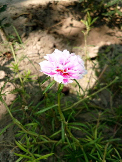 Pink Flower 🌸 Flower Nature Plant Pink Color Beauty In Nature Freshness Petal Day Outdoors Blooming