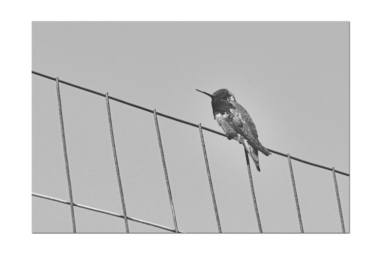 Anna's Hummingbird 3 Calypte Anna Trochilidae Native To North America West Coast Iridescent Crimson-red Crown Called A Gorget The Gorget Looks Dark Brown/gray Without Light Diet: Flower Nectar,small Insects, Anthropods Dive From Up To 130 Ft During Courtship Displays Birds🐦⛅ Birdwatching Birds_collection Monochrome_Photography Monochrome Black & White Black & White Photography Black And White Collection  Black And White Nature Beauty In Nature Nature_collection Bird Photography Avian Orinthology Perching Hummingbird Perched On Fence Garin Regional Park