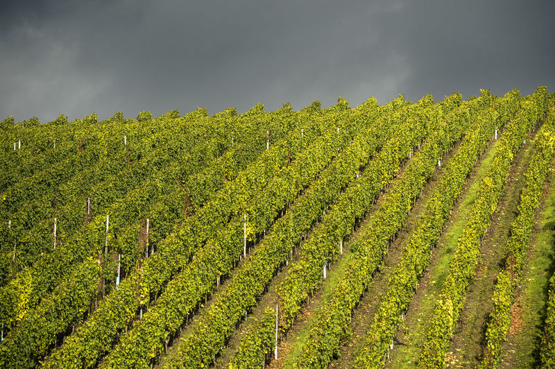 Wineyard, Mosel