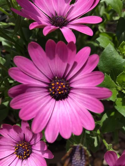 Pink Cape Daisy Flowering Plant Flower Petal Inflorescence Freshness Flower Head Plant Growth Pink Color Fragility Close-up Osteospermum Beauty In Nature No People Pollen Outdoors Nature Park