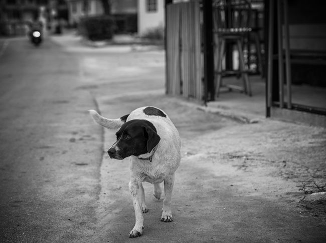Potcake Hound Bahamas Bimini Canine Caribbean Friendly Islandlife Mammal Mixed Breed Natural Light No People One Animal Outdoors Photographyisthemuse Potcake Hound Roadside Small Town Standing Vignette Walking Around Taking Pictures