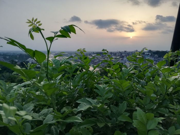 Close-up of fresh plants on field against sky during sunset