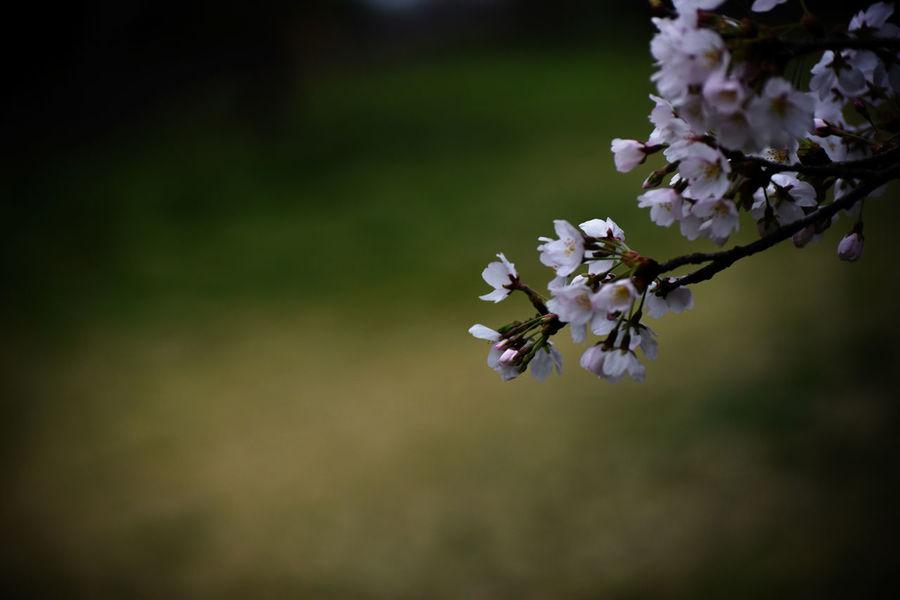 Bokeh Photography Cherry Blossoms EyeEm Gallery Flower Collection Flowerporn Fluffy Getting Inspired Light Pink Nature Sakura Sakura2017 Spring Flowers Sunshine And Flowers Sunshine And Shadows Taking Pictures