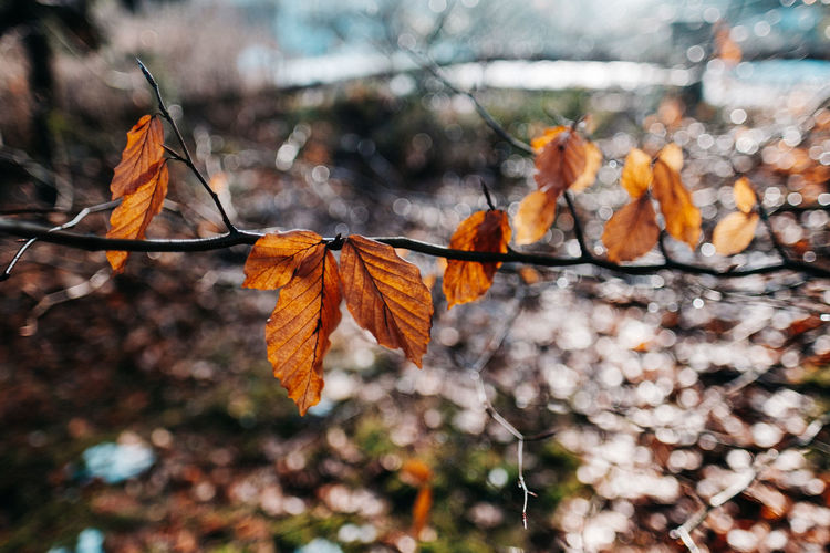 Autumn Beauty In Nature Branch Branches Branches And Leaves Branches Of Trees Brown Leaves Change Close-up Day Focus On Foreground Fragility Freshness Leaf Leaves Macro Maple Maple Leaf Nature No People Orange Color Outdoors Shallow Depth Of Field Tree Wet