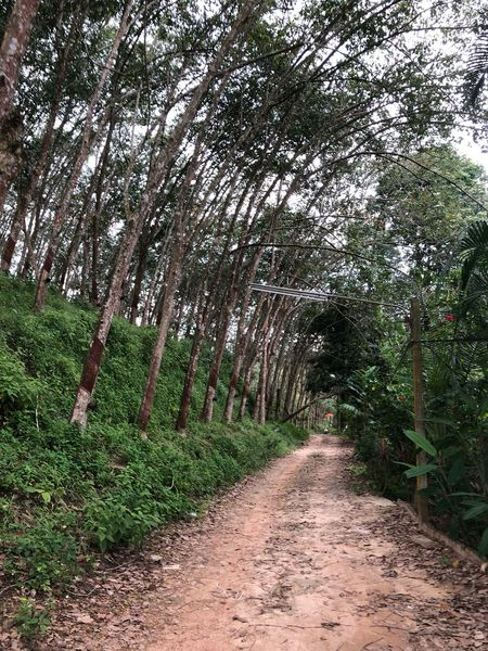 Water View Restaurant Hatyai,Thailand Rubber Tree The Way Forward Tree Nature Forest Footpath Growth Tranquility Outdoors Beauty In Nature Scenics No People Tranquil Scene Plant Sky Day