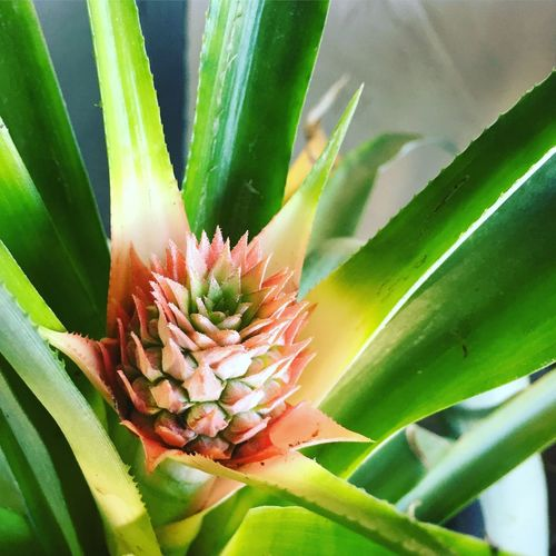 Proudplantmama Beenwaitingforthis Babypineapple Growth Flower Nature Beauty In Nature Freshness Plant Green Color