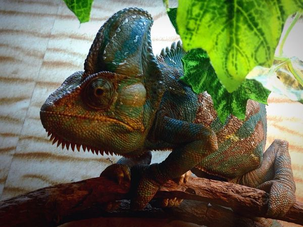 хамелеон Chameleon Chameleons