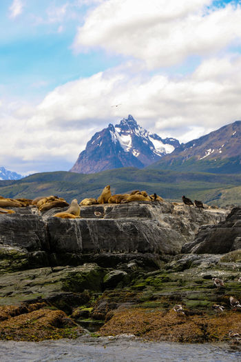 Sea Lion Island - Ushuaia, Argentina EyeEmNewHere Sealion  Ushuaia Argentina Mountians Ocean Wildlife Beauty In Nature Landscape Wilderness Peak Outdoors