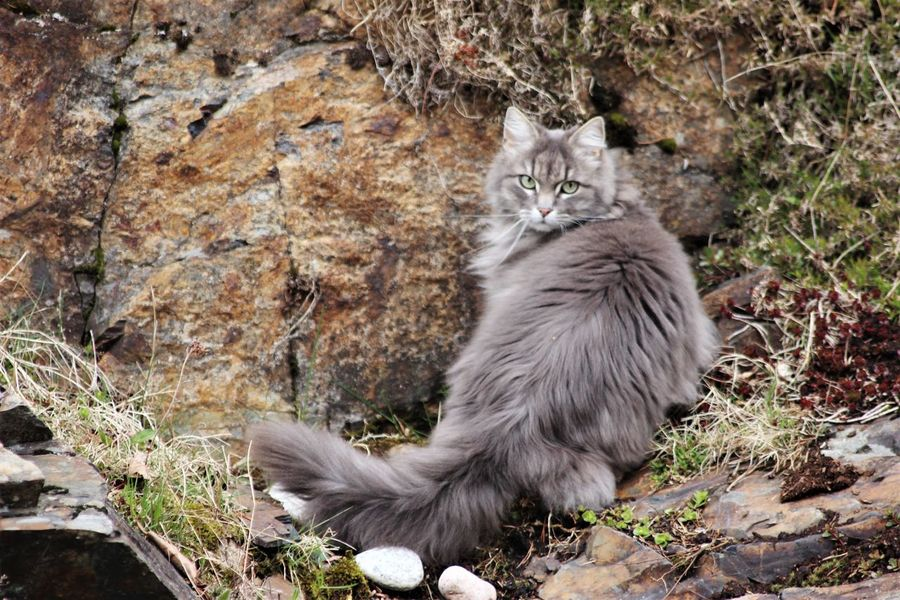 Norwegian Forest Cat Hunting Sitting Waiting Outdoors Animal Themes One Animal Looking At Camera Domestic Animals Domestic Cat Pets Animal Hair Cats Of EyeEm Cats