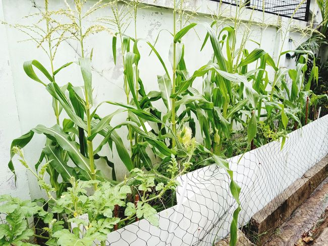 Plants 🌱 สวน ปลูก ต้นไม้ ต้นไม้สวย Garden ข้าวโพด Sweed Corn Leaf Close-up Plant