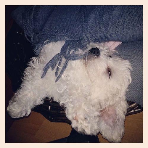 Полинка провела весь день дома и уматала собаку так, что она реально спит без задних ног.