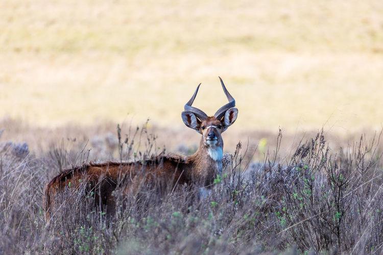 Portrait of deer on grass
