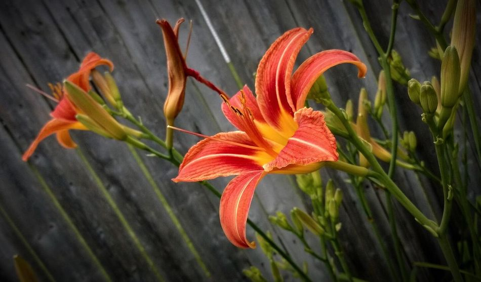 Flower Freshness Fragility Petal Growth Flower Head Close-up Beauty In Nature Plant Nature Orange Color Springtime Single Flower Lily Tigerlily Botany In Bloom Focus On Foreground Blooming Red Outdoors Blossom