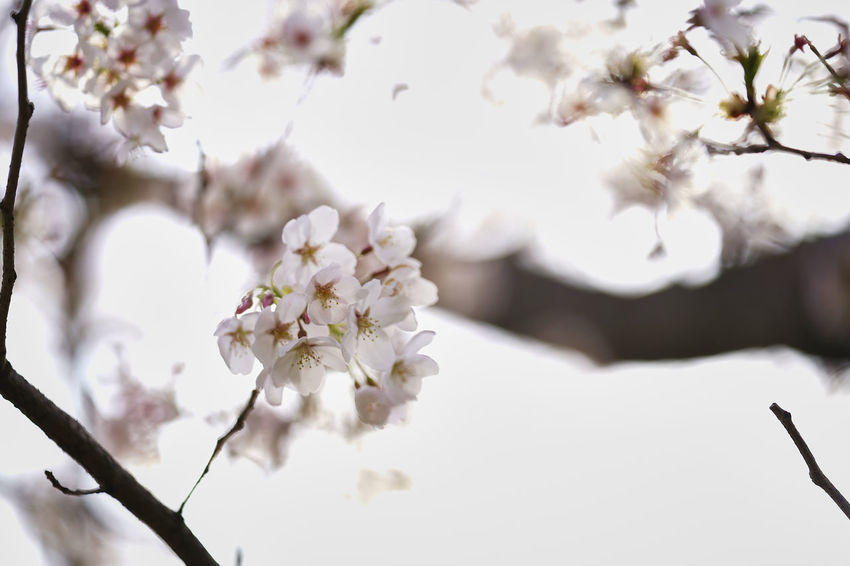 Beauty In Nature Blossom Branch Cherry Blossom Cherry Tree Close-up Day Flower Flower Head Flowering Plant Fragility Freshness Growth Nature No People Outdoors Plant Plum Blossom Springtime Tree