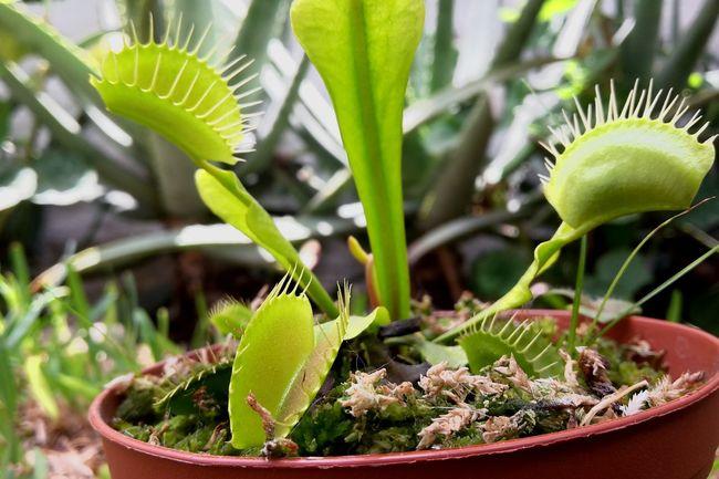 Dionaea muscipula Focus Object Venus Flytrap Leaf Nature Fragility No People EyeEm Lima Perú