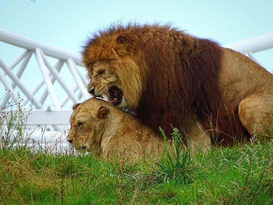 Lions Wildlands  Emmen Zoo HuaweiP9