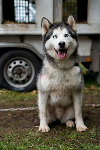 Adorable Adorable Dog Animal Theme Animal Themes Blue Blue Eyes Close-up Cute Day Dog Domestic Animals Husky Looking At Camera Mammal No People One Animal Outdoors Pets Portrait Sitting Sleddog