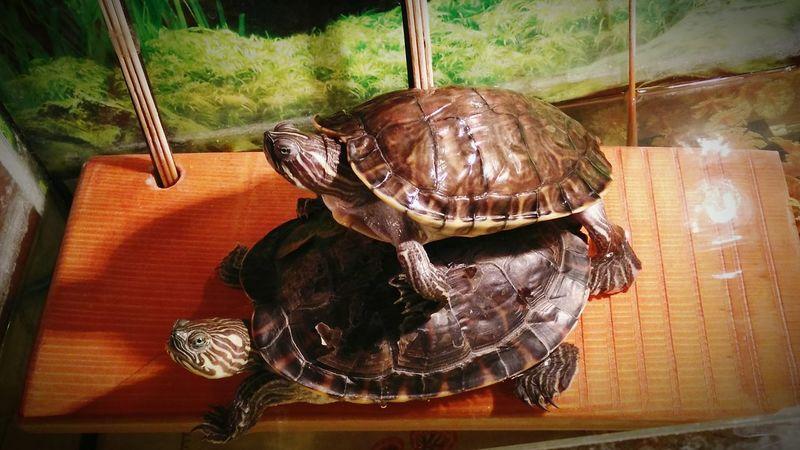 Hanging Out Relaxing Turtles Turtle Love Turtle Aquarium Love ♥ Enjoying Life
