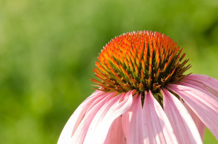 Echinacea. A flower of echinacea close-up in the rays of the summer sun. Close up view. Medicinal Plants Medicine Nature Nature Photography Beauty In Nature Blooming Close-up Day Echinacea Flower Flower Head Focus On Foreground Fragility Freshness Growth Healthy Eating Immunity Medical Nature No People Outdoors Petal Plant