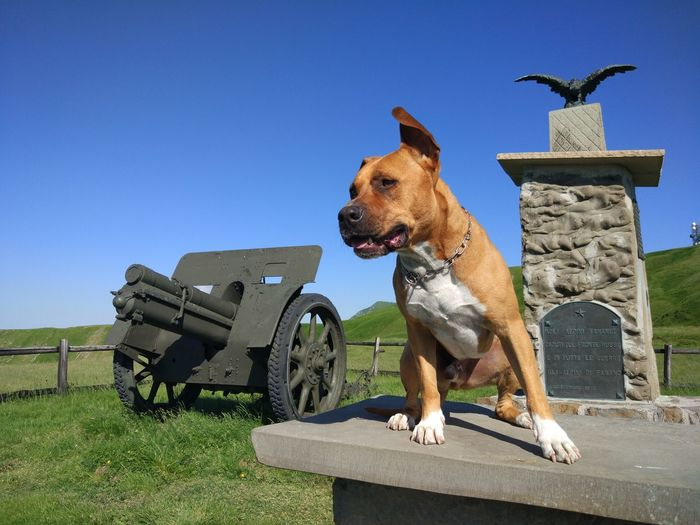 Amstaff Mountain Sky Green War Memorial Dog